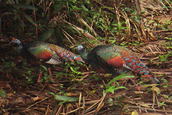 Ocellated turkeys on grounds