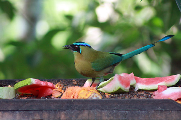 Blue Crowned Motmot at Bird Table